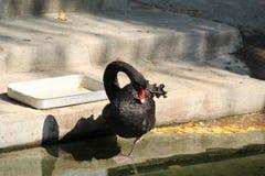 看上去鸭子其湖反射游泳水 照片4 库存图片