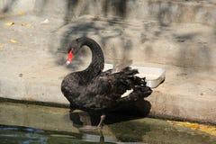 看上去鸭子其湖反射游泳水 照片7 图库摄影