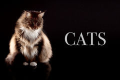 看下来与样品文本的长的头发猫 免版税图库摄影