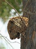 看下来从树干的后面豹子头准备好跳跃下来 南Luangwa国家公园,赞比亚 免版税库存图片