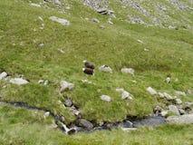 看下来在岩石的两只绵羊 免版税库存照片
