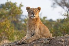 看与一个完善的挺直姿势的一头幼小公狮子照相机 免版税库存照片