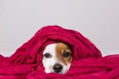 看与一条红色围巾的一条逗人喜爱的幼小小狗的画象照相机盖他 奶油被装载的饼干 库存照片