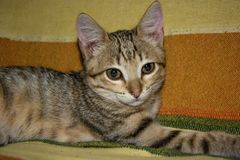 看与他的最佳的神色的共同的猫照相机,好和嫩 免版税图库摄影