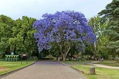 看与兰花楹属植物树开花的步行 免版税图库摄影