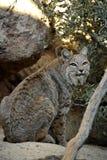 看与兴趣的美洲野猫在他后 免版税库存照片