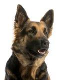 看与开放嘴的一只德国牧羊犬的特写镜头 免版税图库摄影