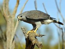 看与强烈兴趣的灰色鹰 图库摄影
