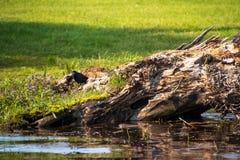 看与恼怒的凝视的共同的grackle照相机,它沿齐佩瓦人搜寻Flowage的海岸线 库存照片