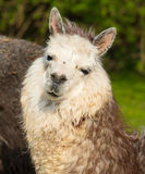 看与白色面孔和灰棕色颜色的逗人喜爱的羊魄画象照相机 免版税库存照片