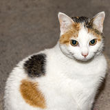 看与贯穿的眼睛的猫照相机 免版税图库摄影
