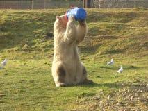 看世界的北极熊 免版税库存图片