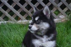 看两个月的Alusky的小狗  库存照片