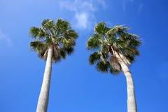 看两棵高美丽的棕榈树 库存图片