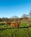 看两头高地的母牛好奇地 库存照片