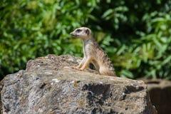 看今后在布拉格动物园的海岛猫鼬类 库存照片