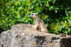 看今后在布拉格动物园的海岛猫鼬类 免版税库存照片