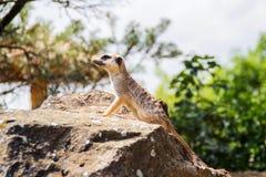看今后在布拉格动物园的海岛猫鼬类 免版税库存图片