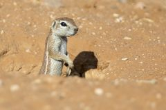 看从它的洞穴的一只地松鼠在干燥卡拉哈里 库存图片