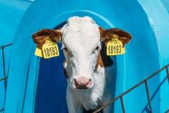 看从小牛箱子房子的逗人喜爱的愉快的小牛照相机 图库摄影