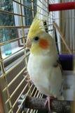 看从笼子的公小形鹦鹉鸟 库存图片