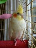看从笼子的公小形鹦鹉鸟 库存照片