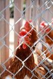 看从铁丝网的后面母鸡 免版税库存照片