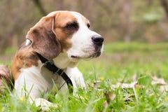 看充满悲伤的小猎犬狗 免版税库存图片