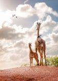 看入天空的母亲和小长颈鹿 免版税库存照片