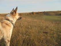看入草甸的狗在秋天 免版税库存图片