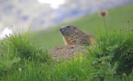 看全景的土拨鼠 免版税库存照片