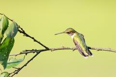 看到左边和有一点在栖息下的一只母红宝石红喉刺莺的蜂鸟的后面在分支 免版税库存图片