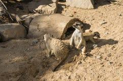 看动物的Meercat meerkat哺乳动物的野生生物 库存照片