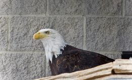 看北美洲的老鹰的照片在旁边 库存图片
