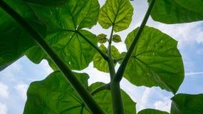 看南瓜的豆茎 库存照片