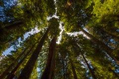 看原始林森林机盖  库存图片