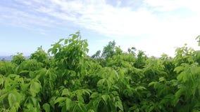 看向外在摇摆在与太阳的微风的树木天棚通过有平稳的平行的运动的叶子通过能 股票视频