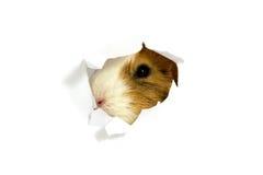 从看啮齿目动物的小室 库存图片