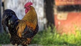 看在一个半木料半灰泥的谷仓前面的照相机的丹麦国家母鸡雄鸡 免版税库存图片