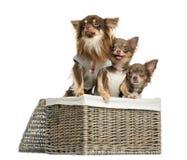 看在一个柳条筐的小组穿戴的奇瓦瓦狗, 库存图片