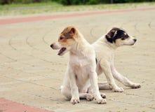 看在不同的方向的两只小狗 库存照片