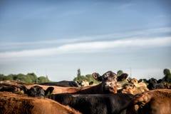 看在举的感兴趣的安格斯母牛她的头附近在牧群下 免版税库存图片