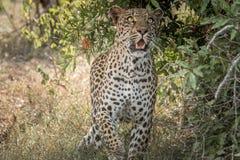 看在克留格尔国家公园,南非的豹子 免版税库存图片
