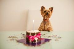 看在前面的约克夏terirer生日蛋糕 免版税库存图片