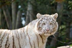看在动物的一只白色老虎 免版税库存照片