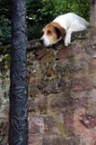 看在墙壁的好奇狗 库存图片