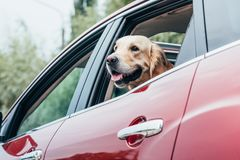 看在外面的美丽的金毛猎犬狗 库存照片
