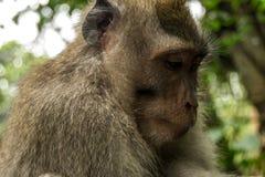 看在头发下的短尾猿画象 库存照片