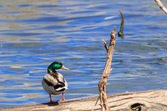 看在它的右肩膀的野鸭鸭子 免版税库存照片