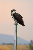 看在它的肩膀的白鹭的羽毛 免版税库存照片